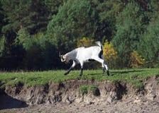 Молодые спешности отечественной козы Стоковое Изображение