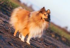 Молодые стойки собаки sheltie Стоковые Фото