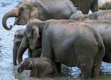 Молодые слоны от детского дома слона Pinnawela & x28; Pinnewala& x29; ванна в реке Maha Oya в центральном Шри-Ланке Стоковое Изображение RF