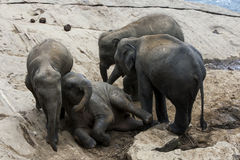 Молодые слоны от детского дома слона Pinnewala & x28; Pinnawela& x29; ослабьте на банке реки Maha Oya Стоковое фото RF
