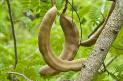 Молодые тамаринды. Стоковое Фото