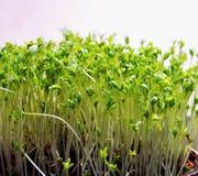 Молодые травы весны Стоковые Фото