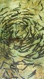 Молодые форели circleing в бассейне размножения Стоковое Изображение