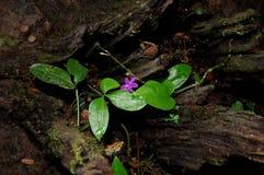 Молодые цветок/Гватемала Стоковое Изображение RF