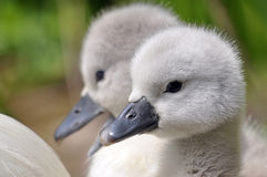 Молодые цыпленоки безгласного лебедя Стоковое Изображение RF