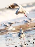 Молодые чайки летая, играющ или говорить Стоковое Фото