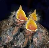 молодые черные птицы Стоковое Фото