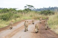 Молодые львы в саванне Стоковые Фотографии RF