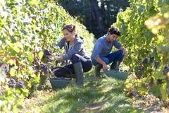 Молодые люди выбирая вверх виноградины в винограднике Стоковая Фотография