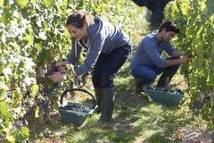 Молодые люди работая крепко в винограднике Стоковая Фотография