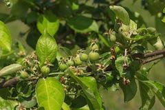 Молодые яблоки Стоковые Изображения