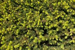 Молодые яркие ые-зелен иглы на ветвях ели Стоковые Фото