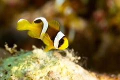 Молодые clowfish Стоковые Фотографии RF