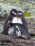 Молодые magellanic пингвины Стоковая Фотография
