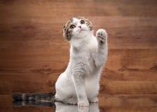 Молодые scottish складывают котенка на зеркале и деревянной текстуре Стоковые Изображения