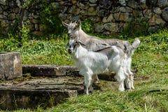2 молодых белых козы на зеленой траве Стоковые Изображения