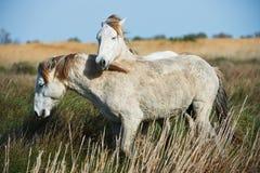 2 молодых белых лошади Стоковое фото RF