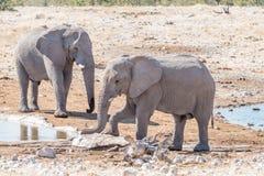 2 молодых быка африканских слона на waterhole Стоковые Фотографии RF