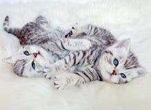 2 молодых великобританских кота tabby серебра shorthair лежа играющ toge Стоковое Фото