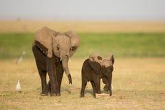 2 молодых влажных африканских слона, Amboseli, Кения Стоковые Фотографии RF