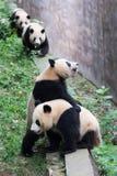 4 молодых гигантских панды ждать еду Стоковое Изображение
