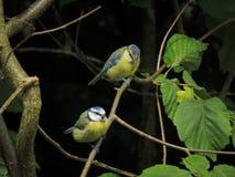 2 молодых голубых синицы садить на насест на ветви Стоковая Фотография RF