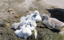 6 молодых лебедей отдыхая на бетонной плите Стоковые Фотографии RF