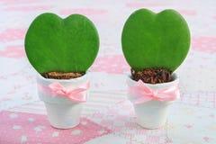 2 молодых завода kerrii Hoya в белых цветочных горшках Стоковые Фотографии RF