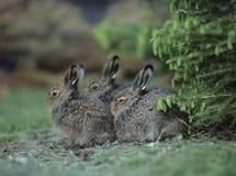 3 молодых зайца сидя кустом Стоковые Изображения