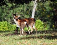 2 молодых залежных оленя. (Dama Dama) Стоковые Изображения RF