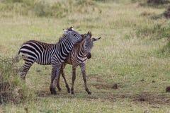 2 молодых зебры стоковая фотография rf
