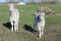 2 молодых козы на выгоне Стоковое Изображение RF