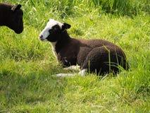 2 молодых коричневых овцы смотрят один другого, одну лежа на зеленом m Стоковая Фотография