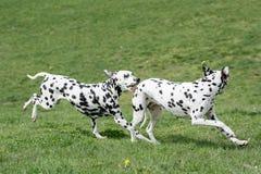 2 молодых красивых далматинских собаки Стоковое Фото