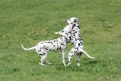 2 молодых красивых далматинских собаки Стоковое Изображение RF