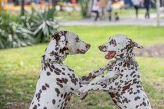 2 молодых красивых далматинских собаки Стоковые Фото