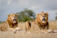 2 молодых мужских брать льва в Kruger Стоковое Изображение