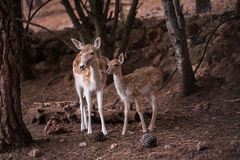 2 молодых оленя Dama Cervus Стоковая Фотография