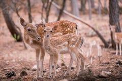 2 молодых оленя Dama Cervus Стоковое Изображение