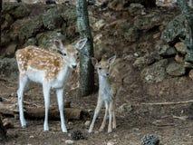 2 молодых оленя dama Cervus Стоковые Фото