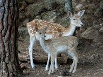 2 молодых оленя dama Cervus Стоковое Фото