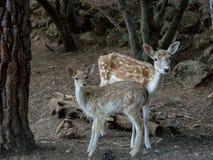 2 молодых оленя dama Cervus Стоковое фото RF