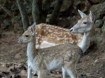 2 молодых оленя dama Cervus Стоковая Фотография RF
