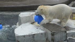 2 молодых полярного медведя видеоматериал