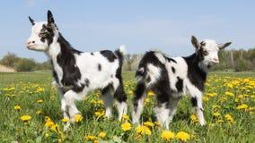 2 молодых смешных козы в противоположности одуванчиков одина другого Стоковые Изображения RF