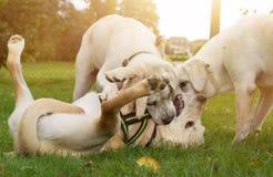 3 молодых собаки играют совместно на солнечном луге Стоковая Фотография RF