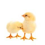 2 молодых цыпленока на белой предпосылке Стоковые Изображения RF