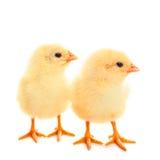 2 молодых цыпленока на белой предпосылке Стоковое Фото