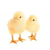 2 молодых цыпленока на белой предпосылке Стоковая Фотография