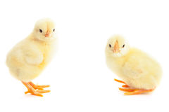 2 молодых цыпленока Стоковые Изображения